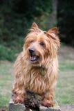 Chien terrier australien Images libres de droits