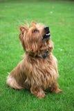 Chien terrier australien Images stock