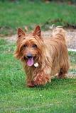 Chien terrier australien Photo stock