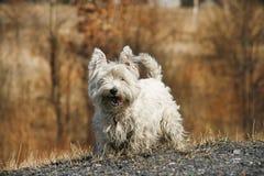 Chien terrier blanc de montagne occidentale image stock