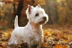 Chien terrier blanc de montagne occidentale photographie stock