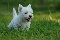 Chien terrier blanc de montagne occidentale 2 Photographie stock