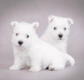 Chien terrier blanc de montagne occidentale photo libre de droits