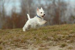 Chien terrier blanc de montagne occidentale Images libres de droits