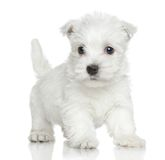 Chien terrier blanc de montagne occidentale Image libre de droits