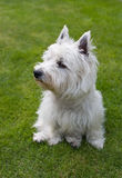 Chien terrier blanc de montagne occidentale image stock