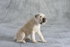 Chien Terrier Photos stock