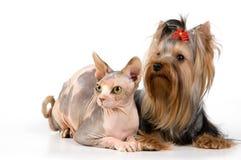 chien terrier canadien de sphynx photographie stock libre de droits