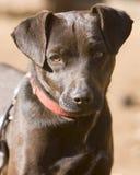 Chien terrier curieux Photo libre de droits