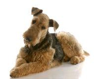 Chien terrier d'Airedale Image libre de droits