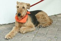 Chien terrier d'Airedale Photo libre de droits