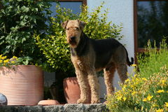 Chien terrier d'Airedale Image stock