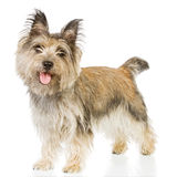 Chien terrier d'isolement Photos stock