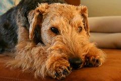 Chien terrier d'obturation Photos libres de droits