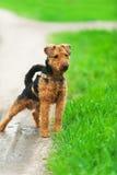 Chien terrier d'obturation Photo libre de droits