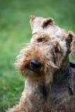 Chien terrier d'obturation Photos stock