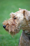 Chien terrier d'obturation Image stock
