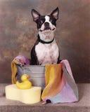 Chien terrier dans un baquet Images libres de droits