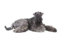 Chien terrier de bleu de Kerry Images stock