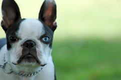 Chien terrier de Boston Images libres de droits