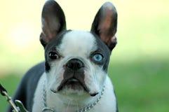 Chien terrier de Boston Photo stock