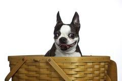 Chien terrier de Boston dans le panier prêt pour le pique-nique Photos stock