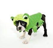 Chien terrier de Boston dans un costume de grenouille photographie stock libre de droits
