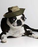 Chien terrier de Boston en chapeau et glaces Images libres de droits