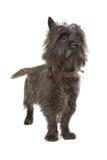 Chien terrier de cairn photo libre de droits
