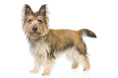 Chien terrier de cairn se levant Photos stock