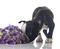 chien terrier de chiot de Boston Image libre de droits