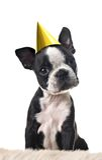 chien terrier de chiot de Boston Images stock