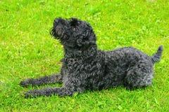Chien terrier de crabot noir sur l'herbe photo stock