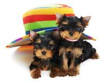 Chien terrier de deux Yorkshire 3 mois Images stock
