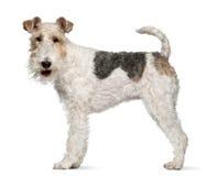 Chien terrier de Fox, 1 an, restant Images stock
