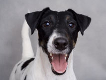 Chien terrier de Fox photos stock