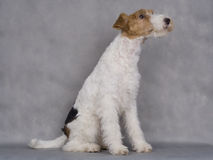 Chien terrier de Fox photographie stock