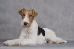 Chien terrier de Fox Photo stock