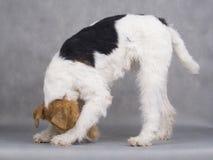 Chien terrier de Fox Photographie stock libre de droits