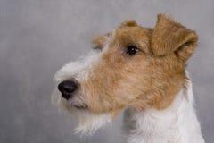 Chien terrier de Fox images stock