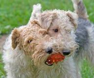 Chien terrier de Fox 6 Photographie stock libre de droits