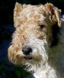Chien terrier de Fox 9 Images stock