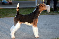 Chien terrier de Fox d'une chevelure de fil Images stock