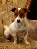 CHIEN TERRIER DE JACK RUSSEL Photo stock