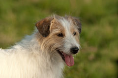 Chien terrier de Jack Russel Photos libres de droits