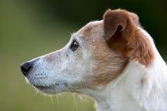 Chien terrier de Jack Russel Images stock