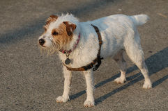 Chien terrier de Jack Russel Photos stock