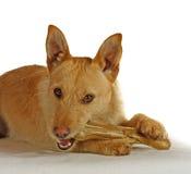Chien terrier de Jack Russel avec un os de crabot Image libre de droits