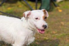Chien terrier de Jack Russell Image stock
