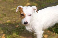 Chien terrier de Jack Russell Photo libre de droits
